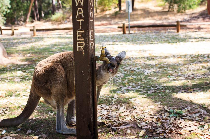 Kangaroo drinking water