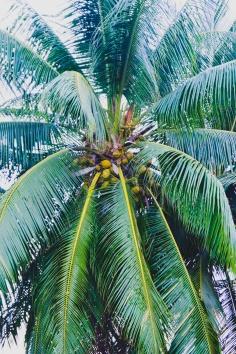 Cocos nucifera – Coconut Palm